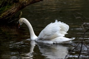 Trying to photography a swan in poor light